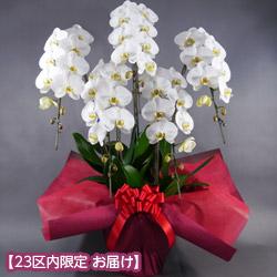 【石毛洋蘭園大輪胡蝶蘭・お祝い(法人)】大輪胡蝶蘭 5本立(開花輪45輪以上)
