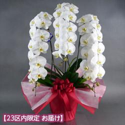 【石毛洋蘭園大輪胡蝶蘭・お祝い】大輪胡蝶蘭 3本立(開花輪36輪以上)赤系ラッピング
