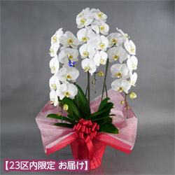 【石毛洋蘭園大輪胡蝶蘭・お祝い】大輪胡蝶蘭 3本立(開花輪30輪以上)赤系ラッピング