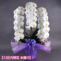【石毛洋蘭園大輪胡蝶蘭・お祝い】大輪胡蝶蘭 3本立(開花輪36輪以上)紫系ラッピング