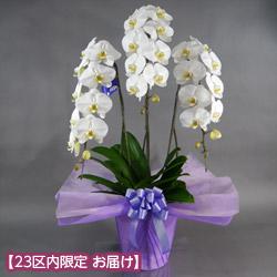 【石毛洋蘭園大輪胡蝶蘭・お祝い】大輪胡蝶蘭 3本立(開花輪30輪以上)紫系ラッピング