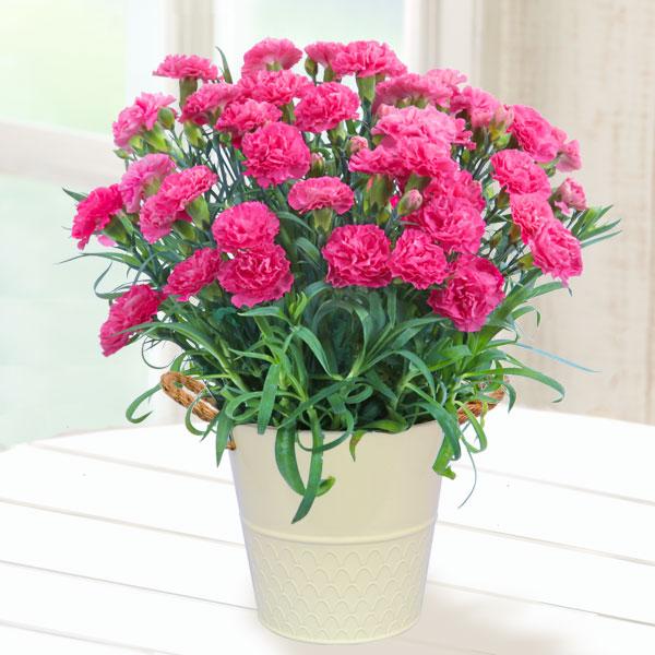 【母の日】幸せのピンクカーネーション鉢 711036 |花キューピットの2019母の日プレゼント特集
