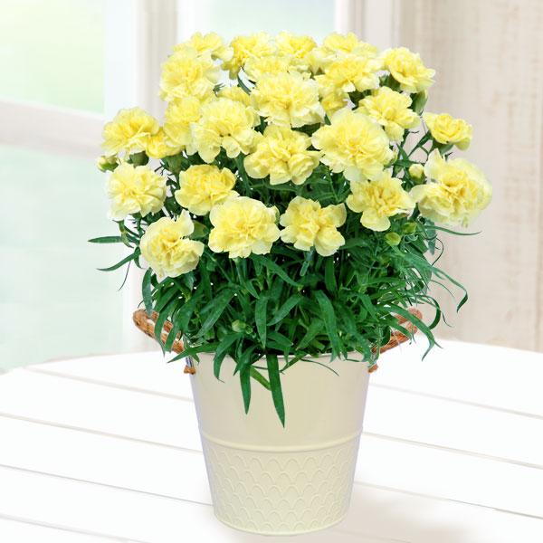 【母の日】幸せの黄色カーネーション鉢 711037 |花キューピットの2019母の日プレゼント特集