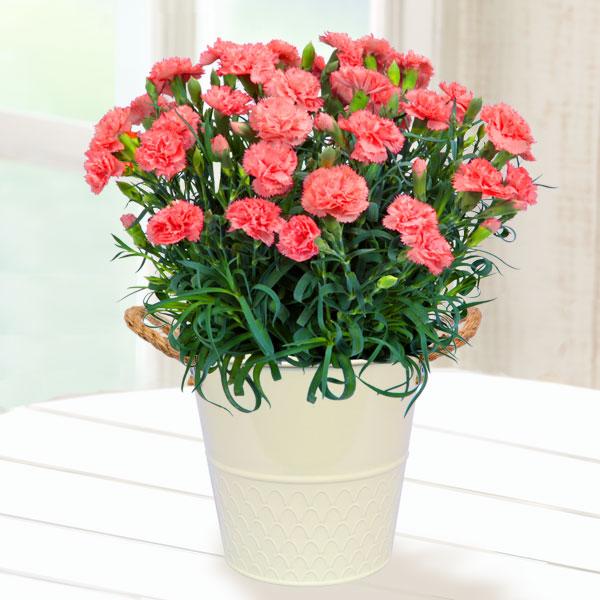 【母の日】幸せのオレンジカーネーション鉢 711038 |花キューピットの2019母の日プレゼント特集