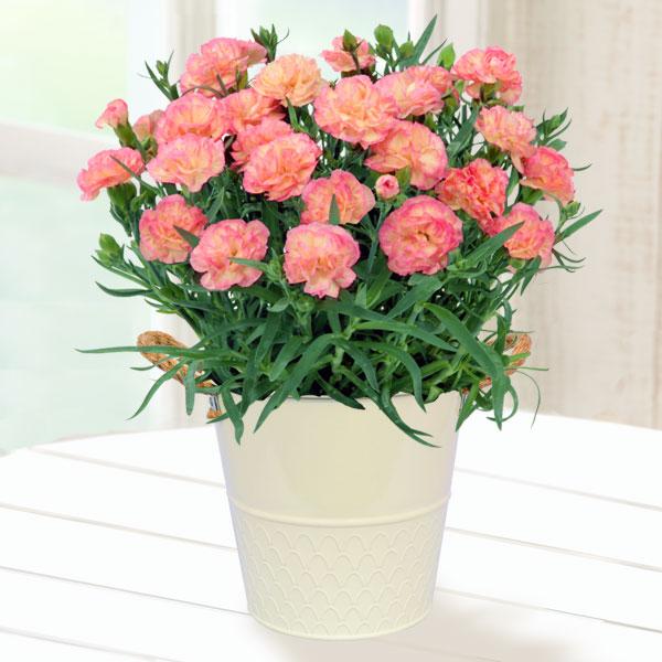 【母の日】幸せの複色カーネーション(ピンク×黄) 711040 |花キューピットの2019母の日プレゼント特集