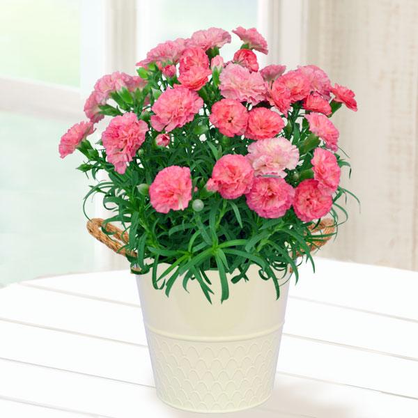 【母の日】幸せの複色カーネーション(ピンク) 711156 |花キューピットの2019母の日プレゼント特集