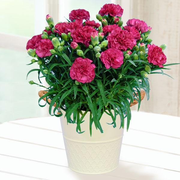 【母の日】幸せの複色カーネーション(紫) 711158 |花キューピットの2019母の日プレゼント特集
