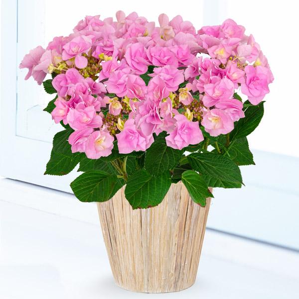 【母の日】あじさい フェアリーアイ 711160 |花キューピットの2019母の日プレゼント特集