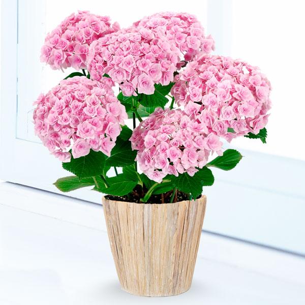 【母の日】あじさい フェアリーキッス 711161 |花キューピットの2019母の日プレゼント特集