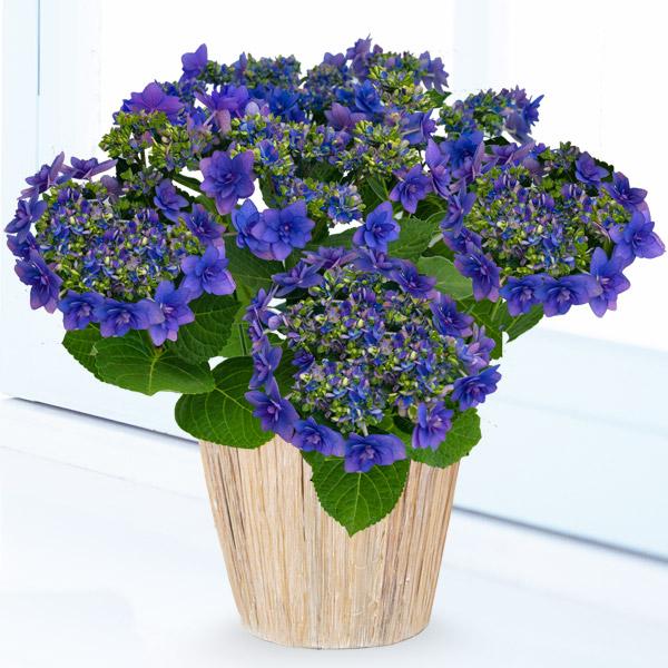 【母の日】あじさい ヒミコ(ブルー) 711162 |花キューピットの2019母の日プレゼント特集