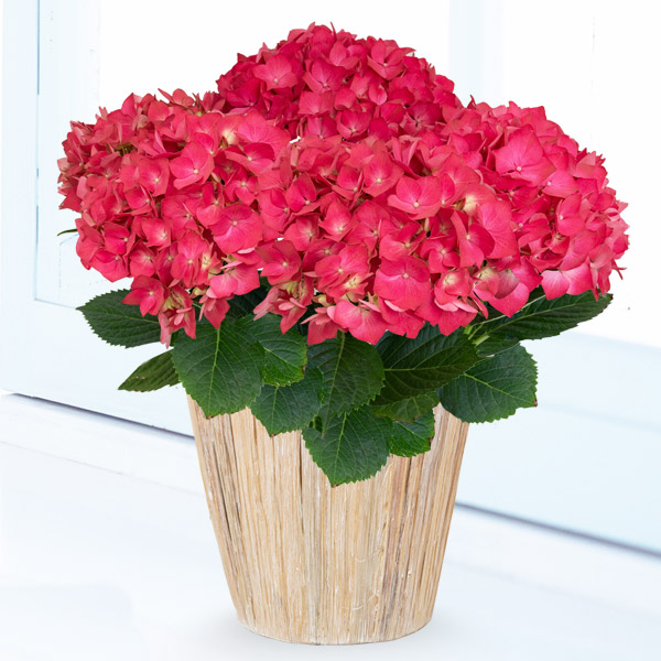 【母の日】あじさい クリスタルレッド 711164 |花キューピットの2019母の日プレゼント特集