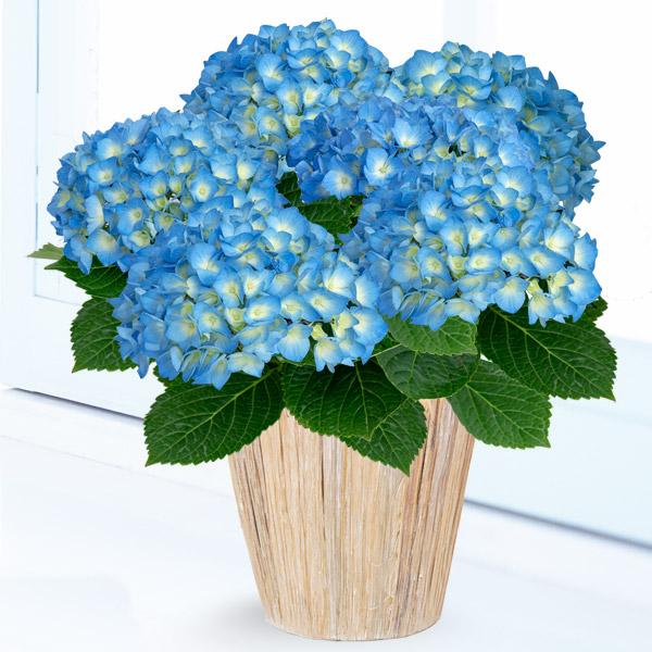 【母の日】あじさい ブルーダイヤモンド 711165 |花キューピットの2019母の日プレゼント特集