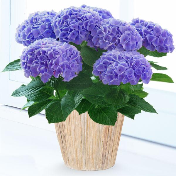 【母の日】あじさい シーアン(ブルー) 711167 |花キューピットの2019母の日プレゼント特集