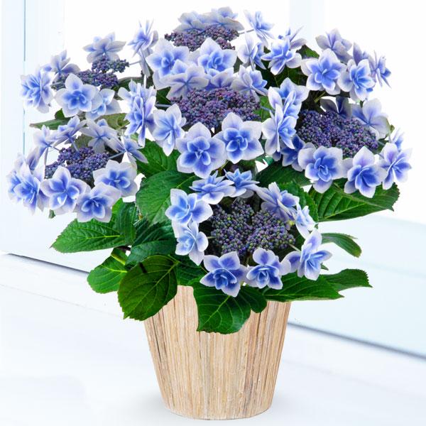 【母の日】あじさい コンペイトウ(ブルー) 711168 |花キューピットの2019母の日プレゼント特集