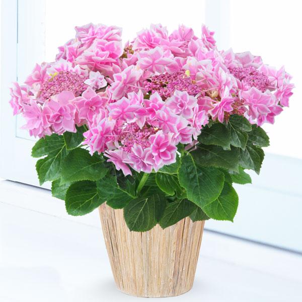 【母の日】あじさい コンペイトウ(ピンク) 711169 |花キューピットの2019母の日プレゼント特集