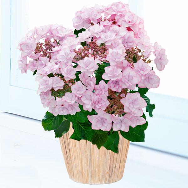 【母の日】あじさい ピンキーリング 711170 |花キューピットの2019母の日プレゼント特集