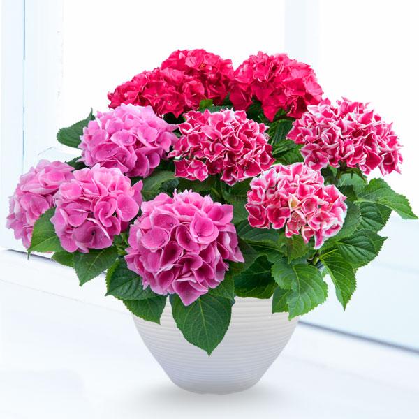 【母の日】あじさい3色寄せ(赤・ピンク・覆輪ピンク) 711171 |花キューピットの2019母の日プレゼント特集