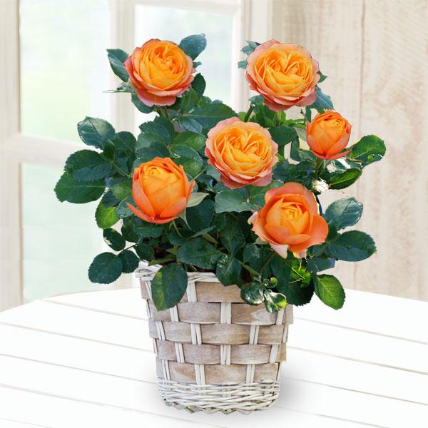 【母の日】バラ ベビーロマンティカ 711173 |花キューピットの2019母の日プレゼント特集