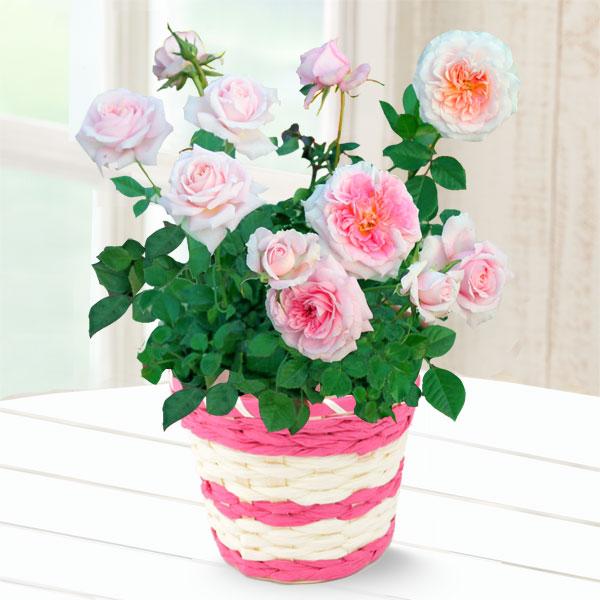 【母の日】バラ レディメイアンディナ 711175 |花キューピットの2019母の日プレゼント特集