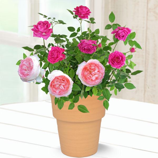 【母の日】バラ オーバーナイトセンセーション&ホワイトピーチ 711179 |花キューピットの2019母の日プレゼント特集