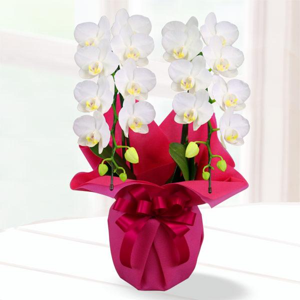 【母の日】胡蝶蘭 スーパーアマビリス2本立 ラッピング 711182 |花キューピットの2019母の日 産直花鉢特集
