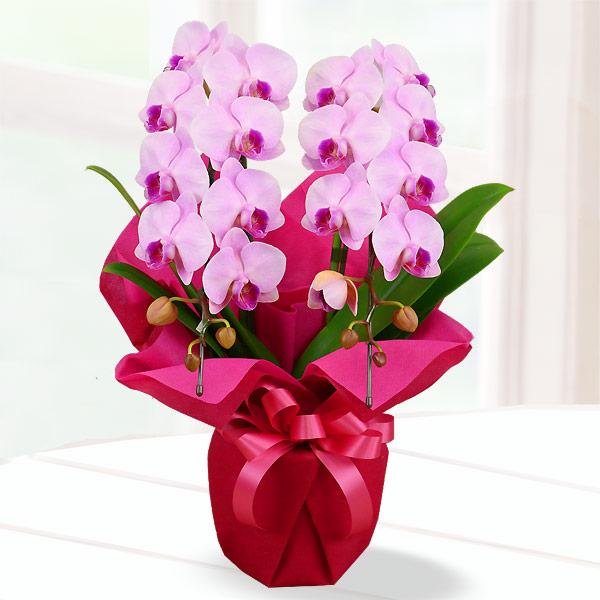 【母の日】胡蝶蘭 ピンク系2本立 ラッピング 711183 |花キューピットの2019母の日 産直花鉢特集