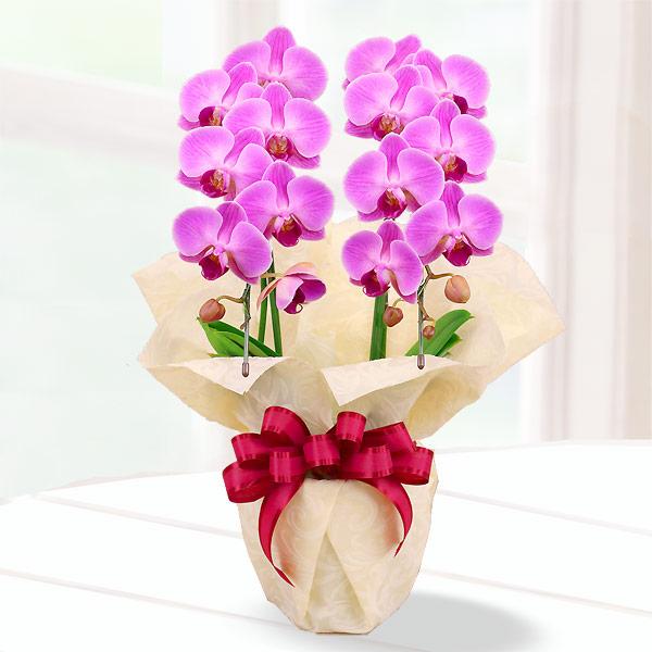 【母の日】胡蝶蘭 濃いピンク系2本立 ラッピング 711184 |花キューピットの2019母の日 産直花鉢特集