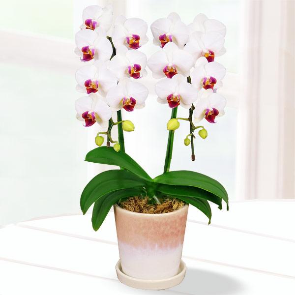 【母の日】胡蝶蘭 白赤リップ2本立 陶器鉢 711185 |花キューピットの2019母の日 産直花鉢特集