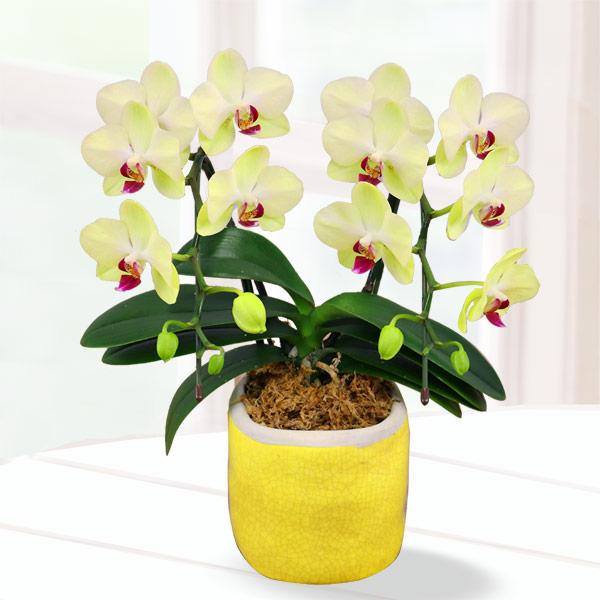 【母の日】胡蝶蘭 フォーチュン2本立て 陶器鉢 711186 |花キューピットの2019母の日 産直花鉢特集