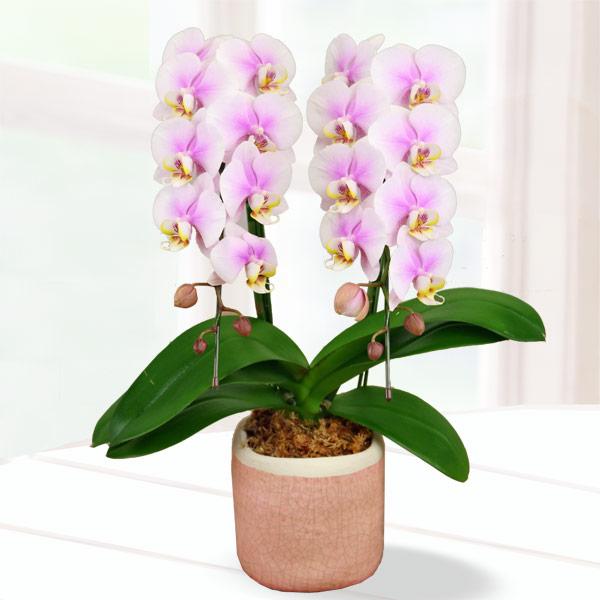 【母の日】胡蝶蘭 ルーパン2本立 陶器鉢 711187 |花キューピットの2019母の日 産直花鉢特集