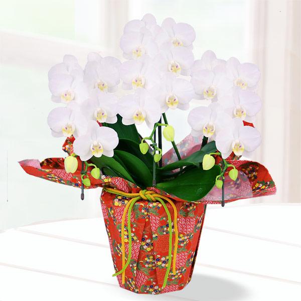 【母の日】胡蝶蘭 アマビリス3本立 千代紙ラッピング 711188 |花キューピットの2019母の日 産直花鉢特集