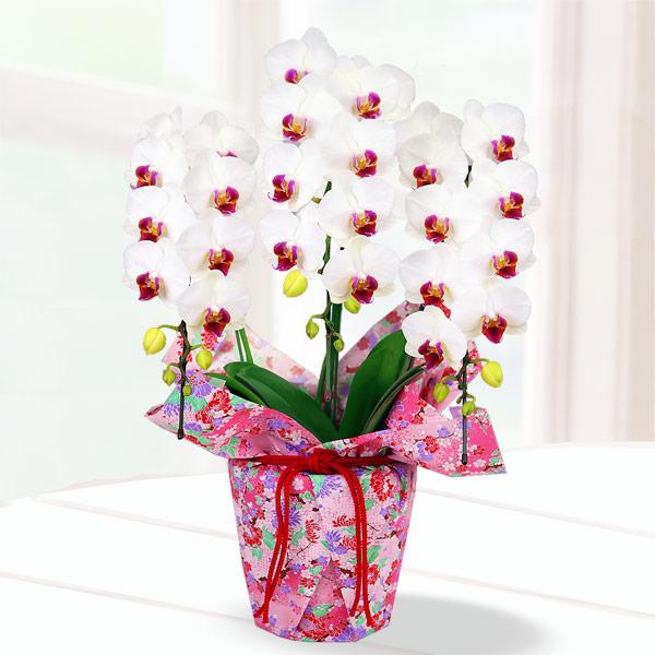 【母の日】胡蝶蘭 白赤リップ3本立 千代紙ラッピング 711189 |花キューピットの2019母の日 産直花鉢特集