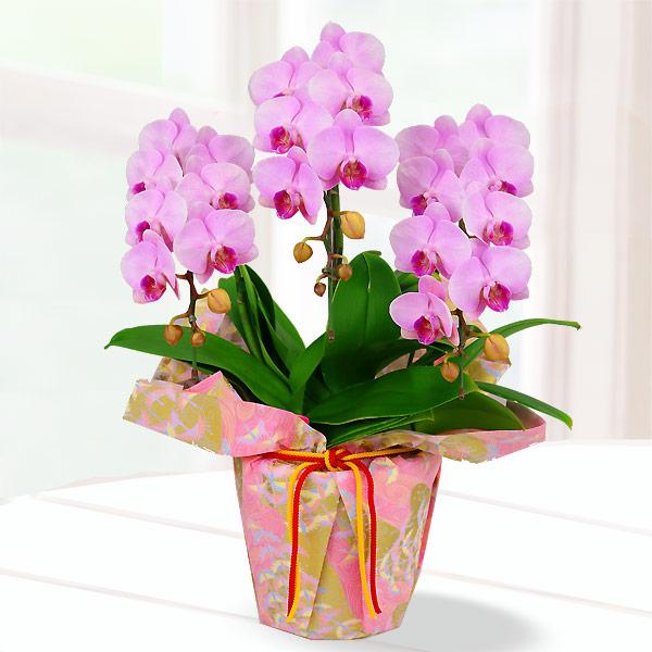 【母の日】胡蝶蘭 ピンク系3本立 千代紙ラッピング 711190 |花キューピットの2019母の日 産直花鉢特集
