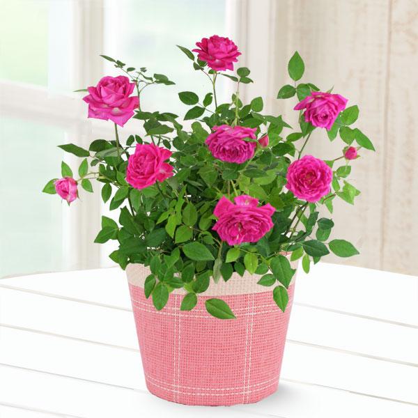 【敬老の日】バラ オーバーナイトセンセーション 711201 |花キューピットの2019敬老の日プレゼント特集