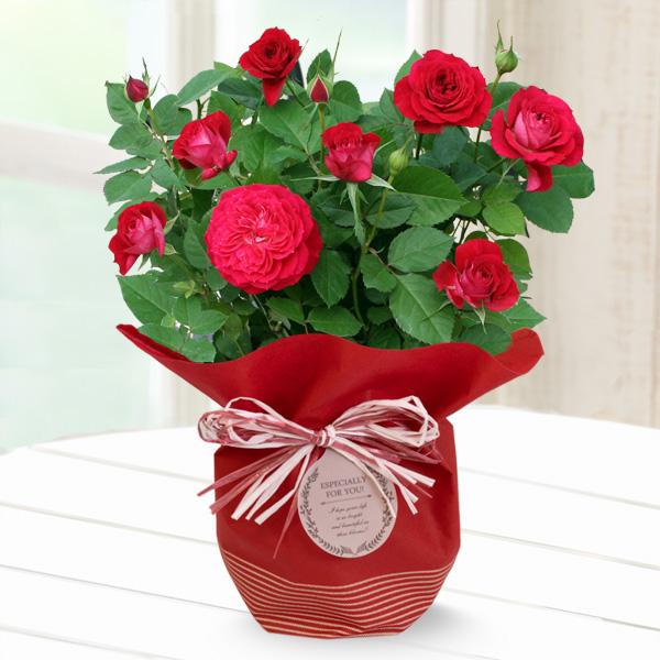 【敬老の日】バラ スカーレットオベーション 711202 |花キューピットの2019敬老の日プレゼント特集