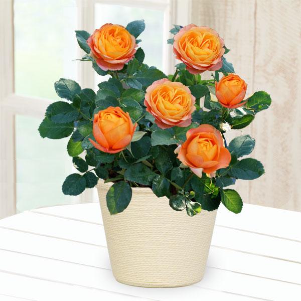 【敬老の日】バラ ベビーロマンティカ 711203 |花キューピットの2019敬老の日プレゼント特集