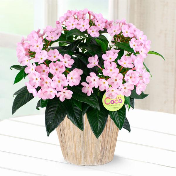 【敬老の日】敬老の日限定「におい桜」(ココ) 711204 |花キューピットの2019敬老の日プレゼント特集