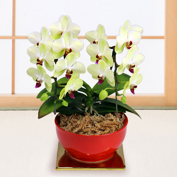【敬老の日】ミディ胡蝶蘭 フォーチュン(2本立) 赤鉢 711205 |花キューピットの2019敬老の日プレゼント特集