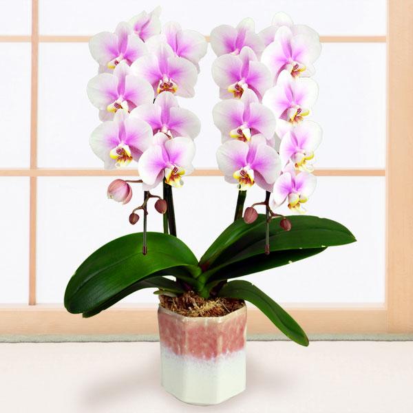 【敬老の日】ミディ胡蝶蘭 ルーパン(2本立)ピンク鉢 711206 |花キューピットの2019敬老の日プレゼント特集