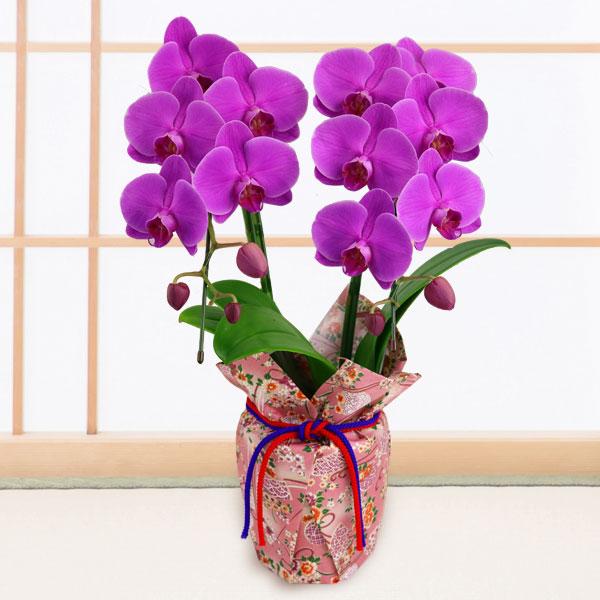 【敬老の日】ミディ胡蝶蘭 ガーネット(2本立)千代紙ラッピング 711207 |花キューピットの2019敬老の日プレゼント特集