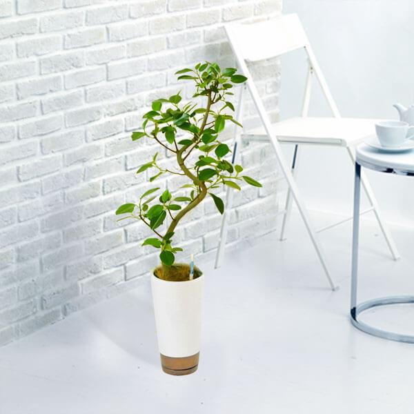 【産直 観葉植物(通年)(法人)】フランスゴム(白鉢)