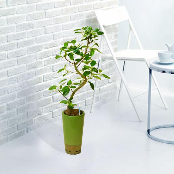 【産直 観葉植物(通年)(法人)】フランスゴム(緑鉢)