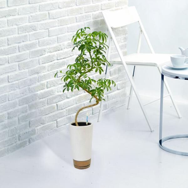 【産直 観葉植物(通年)(法人)】カポックコンパクター(白鉢)