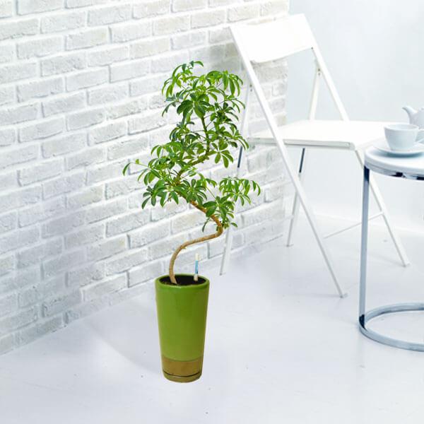 【産直 観葉植物(通年)(法人)】カポックコンパクター(緑鉢)