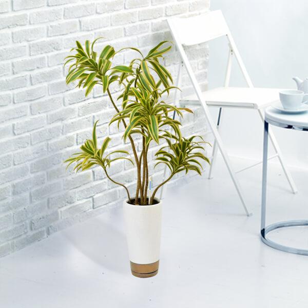 【産直 観葉植物(通年)(法人)】ソングオブインディア(白鉢)