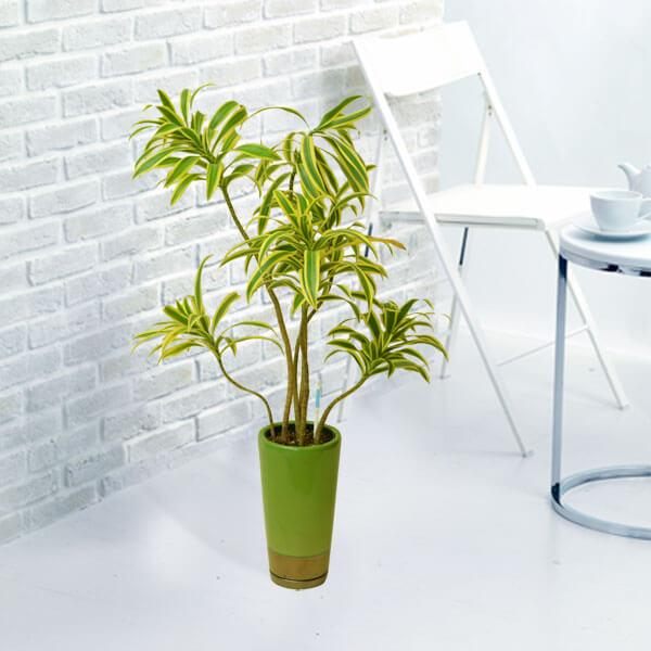 【産直 観葉植物(通年)(法人)】ソングオブインディア(緑鉢)