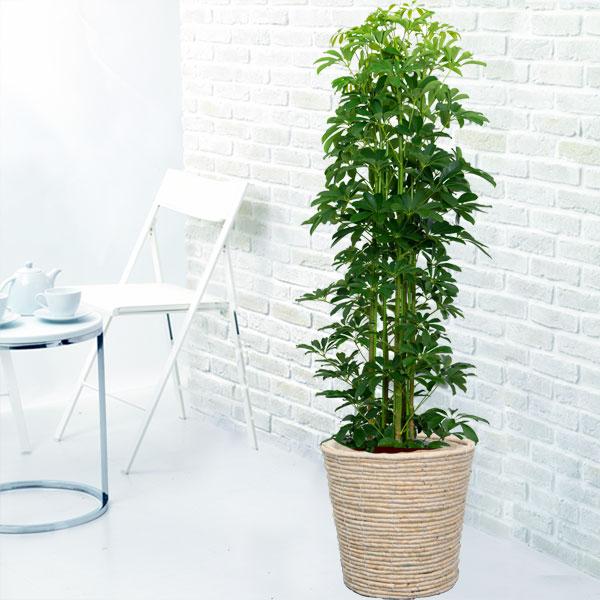 【産直 観葉植物(通年)】カポック(バスケット・尺鉢)