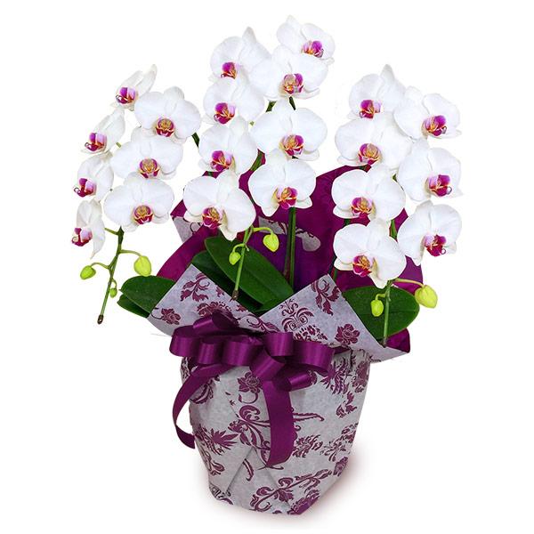 【お正月フラワーギフト】ミディ胡蝶蘭 タイアン3本立(30輪前後) 711298 |花キューピットの2021お正月フラワーギフト特集