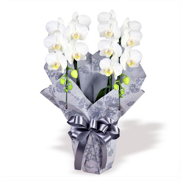 【お盆・新盆】お供えミディ胡蝶蘭スーパーアマビリス2本立(ラッピング付) 711303 |花キューピットのお盆・新盆特集2020