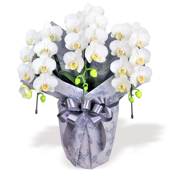 【お盆・新盆】お供えミディ胡蝶蘭スーパーアマビリス3本立(ラッピング付) 711304 |花キューピットのお盆・新盆特集2020